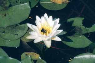 flower on a lily pad